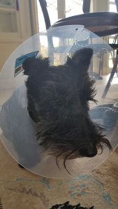 Scottish Terrier's unknown journey with Cataracts
