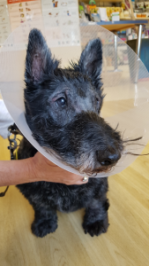 10 year old Scottish Terrier post an operation to remove cataracts